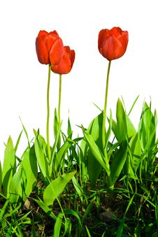 Free Tulips Royalty Free Stock Image - 6692196