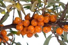 Branch Of Sea-buckthorn Isolated Royalty Free Stock Photography