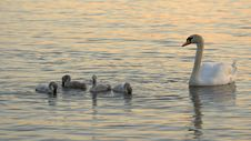 Free Swans Family Stock Photography - 6693592