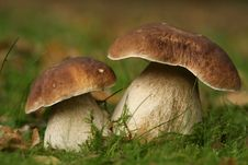Free Autumn Scene: Two Brown And White Colored Mushroom Stock Photography - 6695152