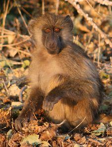Monkey Staring Royalty Free Stock Photography