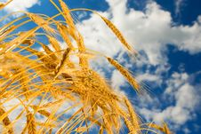 Wheat In The Blue Sky Background Stock Photography