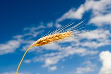 Free Golden Wheat Royalty Free Stock Images - 6695269