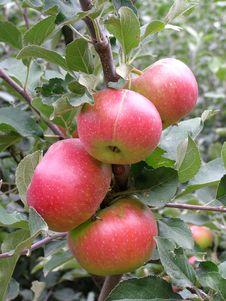 Free Ripe Apples Stock Photo - 6695550