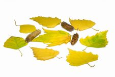 Yellow Leaves And Birch Ear-rings Royalty Free Stock Photo
