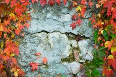 Free Old Wall With Vine. Stock Photos - 6697573