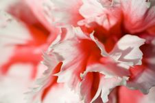 Free Red Carnation Royalty Free Stock Images - 6698179