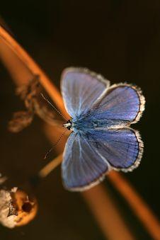 Free Macro Of Polyommatus Icarus Royalty Free Stock Photos - 6698708