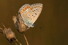 Free Macro Of Polyommatus Icarus Royalty Free Stock Photo - 6698765