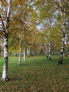 Free Birch Grove In Autumn Royalty Free Stock Photos - 6699188