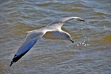 Gull On Wing Above An Ocean Royalty Free Stock Photo