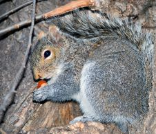 Free Squirrel On A Tree With Wood Nut Royalty Free Stock Photography - 6699907