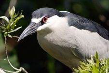 Free Black Crowned Night Heron. Stock Image - 670441