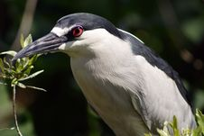 Free Night Heron Stock Photography - 670462