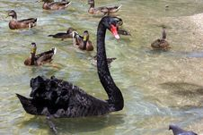 Free Black Swan Royalty Free Stock Photos - 670598