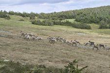 Free Reindeer Stock Photos - 670693