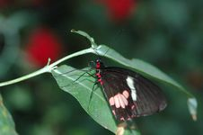 Free Black Red And White Butterfly On Leaf 2 Stock Photos - 670713