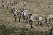Free Reindeer Stock Photography - 670722