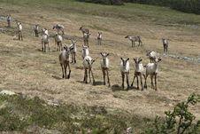 Free Reindeer Royalty Free Stock Images - 670729
