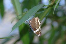 Free Bolina (hypolimnas Bolina) On Leaf Royalty Free Stock Photo - 670735