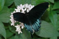 Free Mormon (papilio) On White Flowers 2 Royalty Free Stock Photos - 670738