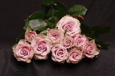 Free Pink Roses Royalty Free Stock Images - 671559