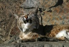 Smile Of A Wild Cat Stock Images