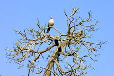 Free Two Wood Pidgeons In A Sunny Bare Tree Stock Photos - 672573