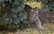 Free Out From Under Tree - Cougar (Felis Concolor) Stock Photo - 672830