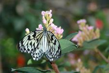 Large Mormon (papilio Memnon) On Pink Flowers Royalty Free Stock Photography
