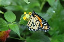 Free Monarch On Yellow Flower 3 Stock Photos - 673293
