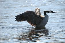 Free Goose On Water 2 Stock Photo - 673350