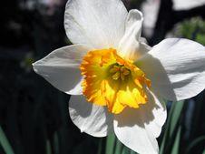 Free Daffodil 1 Royalty Free Stock Image - 674136