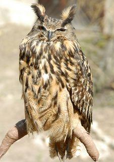 Free Stock Owl Royalty Free Stock Photos - 674208