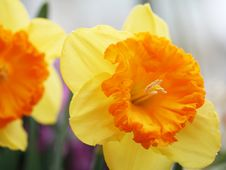 Free Yellow Orange Daffodils Royalty Free Stock Photo - 675835