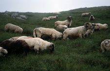 Flock Of Sheep On A Pasture Royalty Free Stock Photos