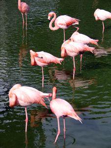 Free Flamingos Royalty Free Stock Photos - 676528