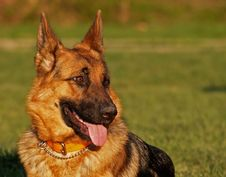 Free Dog / German Shepherd 2 Stock Photography - 677032