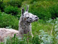 Free Llama Lying Stock Image - 678861