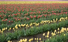 Free Tulip Field Stock Photography - 679102