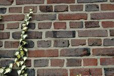 Free Wall With Ivy Royalty Free Stock Photo - 679505