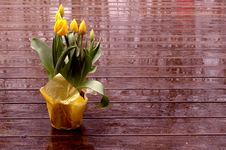 Free Yellow Tulips Stock Photo - 679560