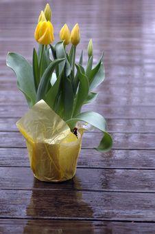Free Yellow Tulips Stock Image - 679561