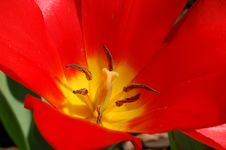 Free Giant Red Tulip Royalty Free Stock Images - 679589