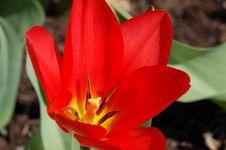 Free Red Tulip Stock Photos - 679603