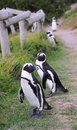 Free Penguins Stock Photos - 6701283