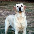 Free Yellow Labrador Retriever Royalty Free Stock Images - 6701869
