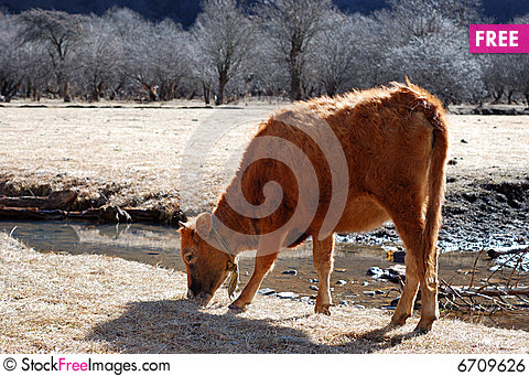Free Grazes Cow Royalty Free Stock Image - 6709626