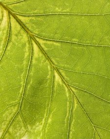 Free Macro Of A Leaf Royalty Free Stock Photography - 6700427