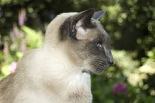 Free Cute Siamese Domestic Cat Stock Images - 6700814
